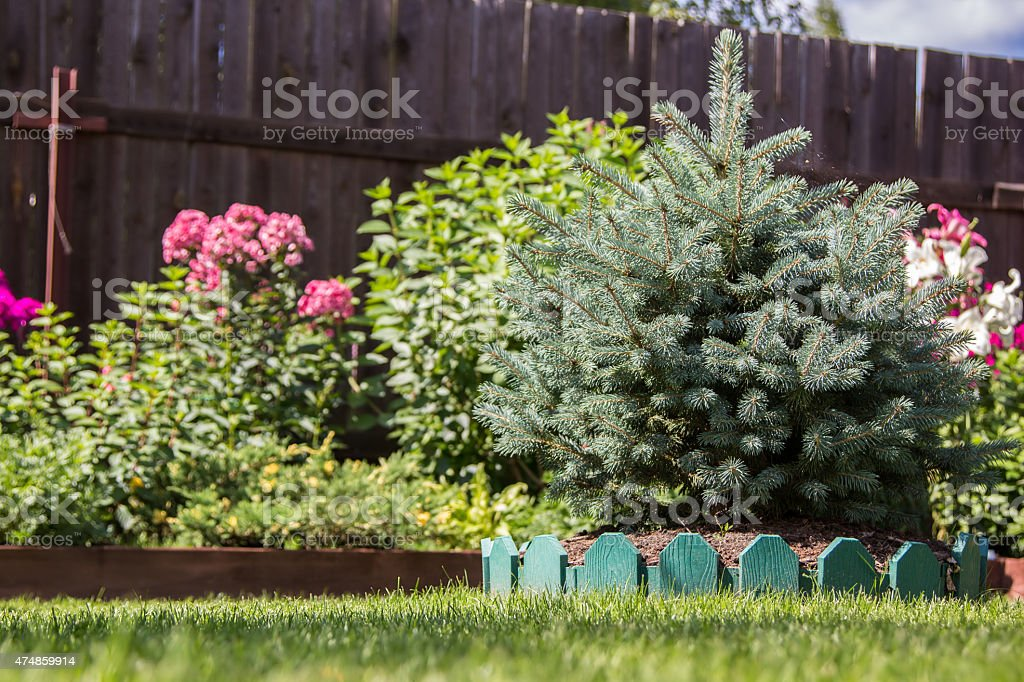dwarf spruce on a lawn stock photo