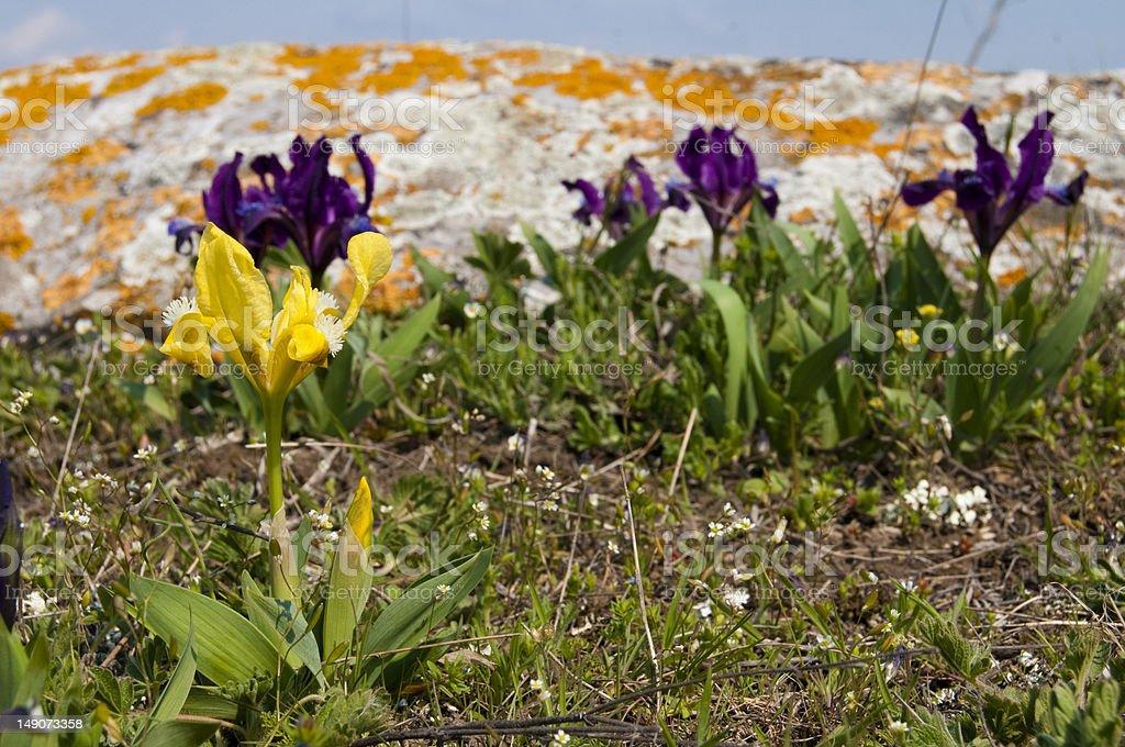 Dwarf Yellow Iris stock photo