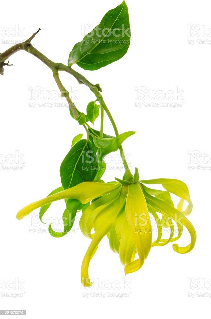 Dwarf Ylang-Ylang flower on white background stock photo