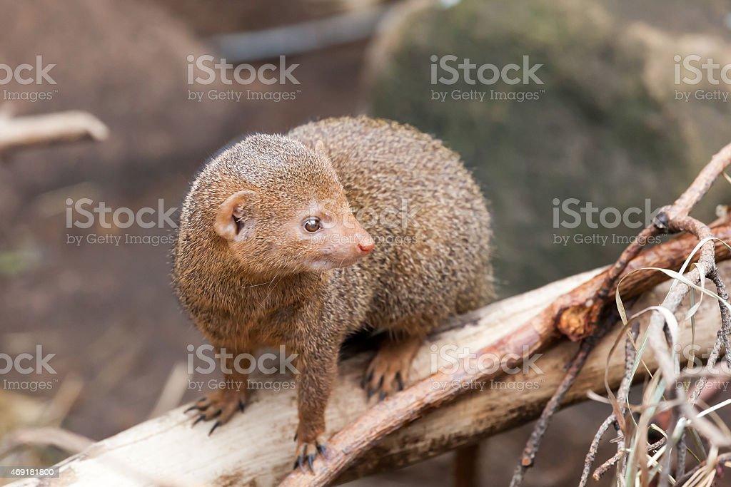 dwarfish a mongoose sits on  tree trunk stock photo