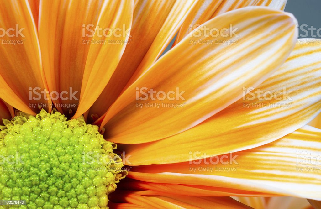 Dyed Daisy Flower White Orange Petals Green Carpels Close up stock photo
