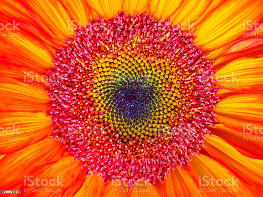 Dyed Orange Sunflower Close-up Background stock photo