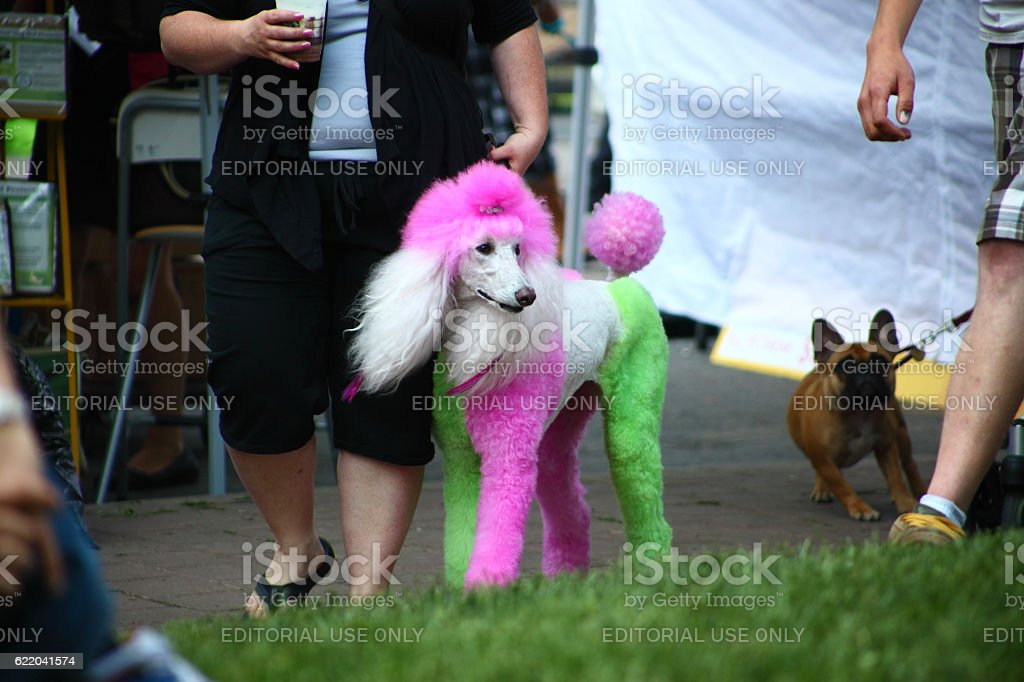Dyed poodle on Woofstock festival in Toronto stock photo