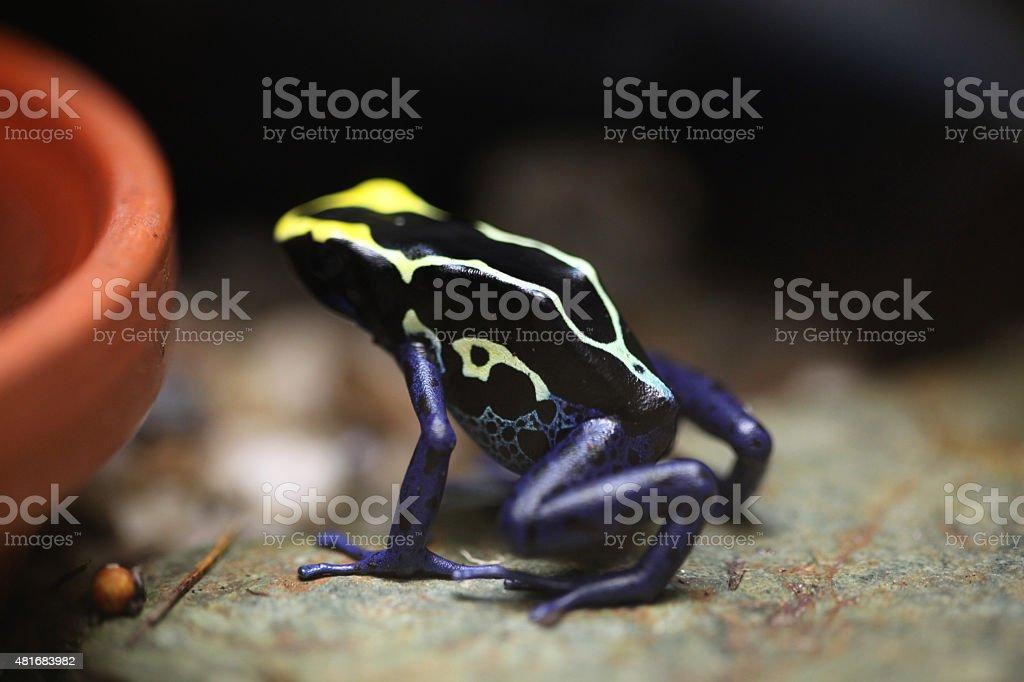 Dyeing dart frog (Dendrobates tinctorius). stock photo