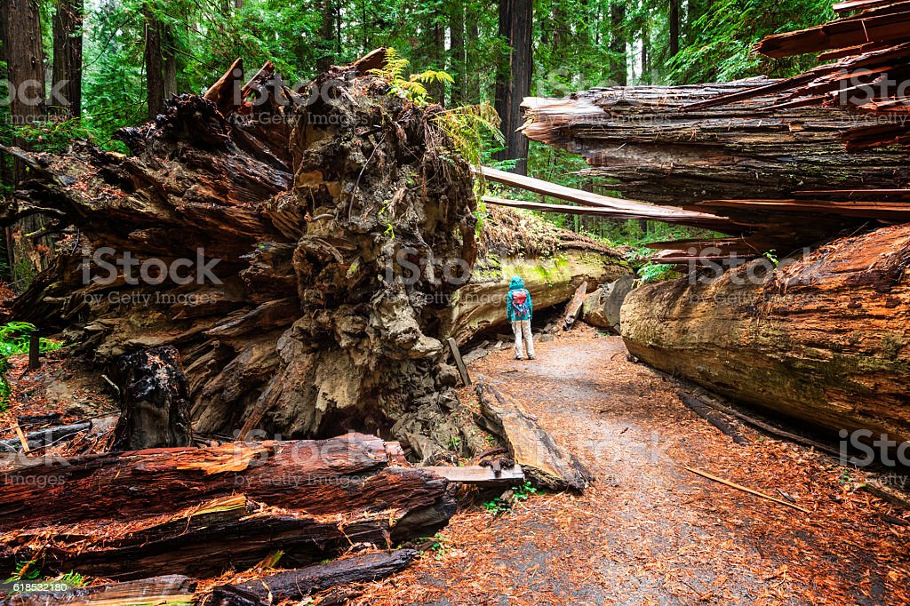 Dyerville Giant, Humboldt Redwoods State Park, CA stock photo