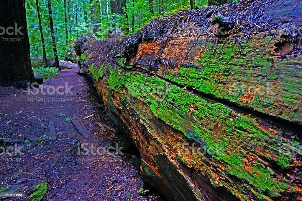Dyerville Giant, once the tallest tree on Earth stock photo