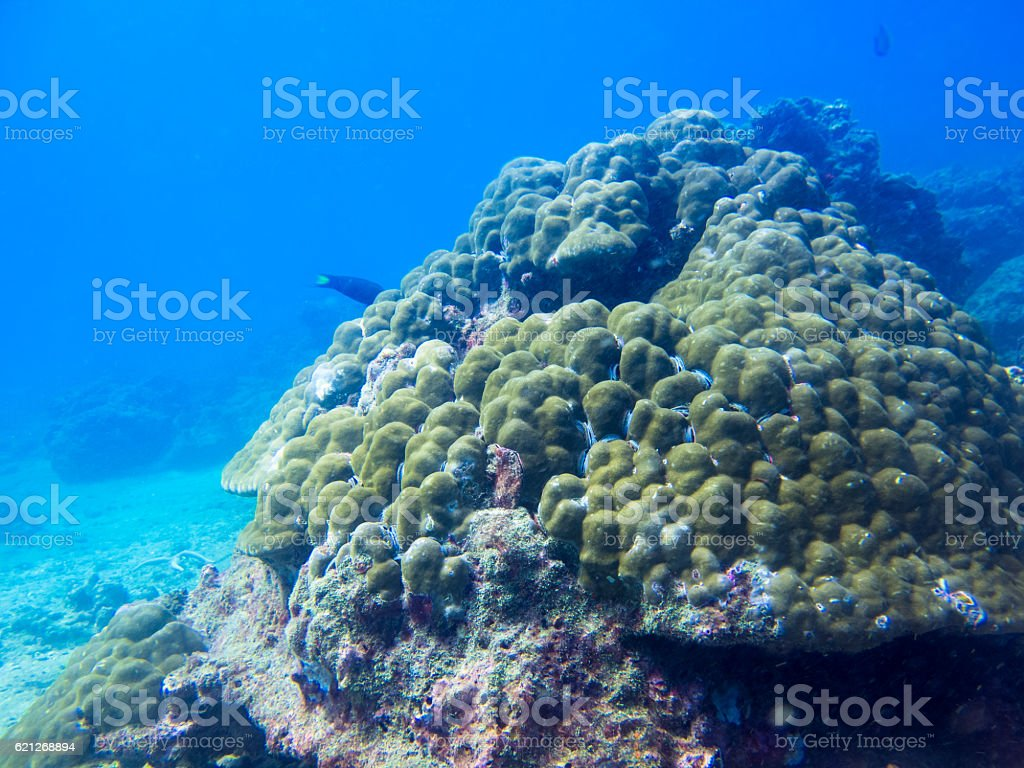 Dying Coral (phylum Cnidaria) Global Warming Climate Change El Nino stock photo