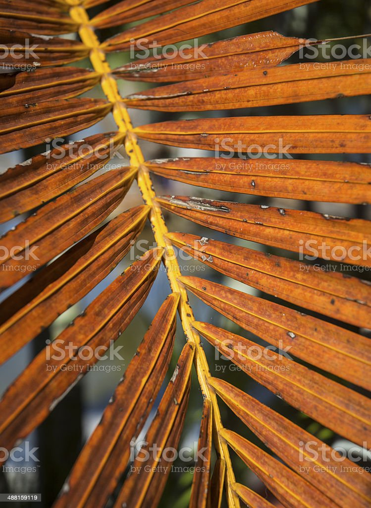 Dying Orange Palm Front Leaf Macro In Summer royalty-free stock photo