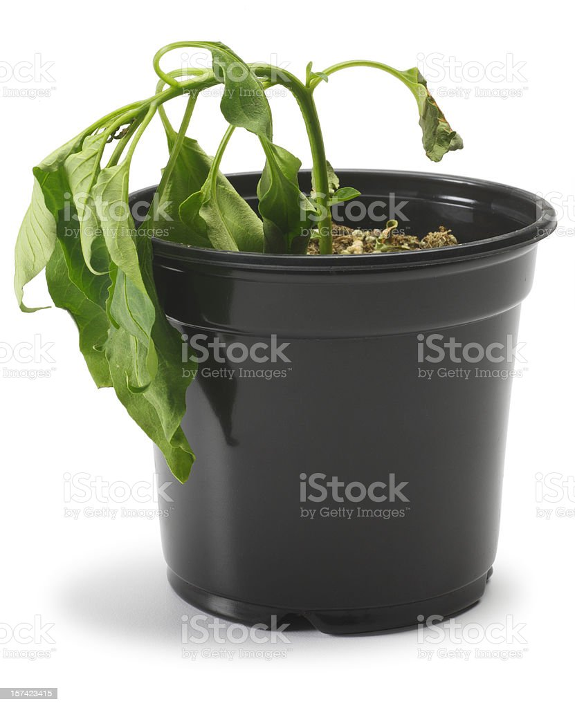 Dying Plant stock photo