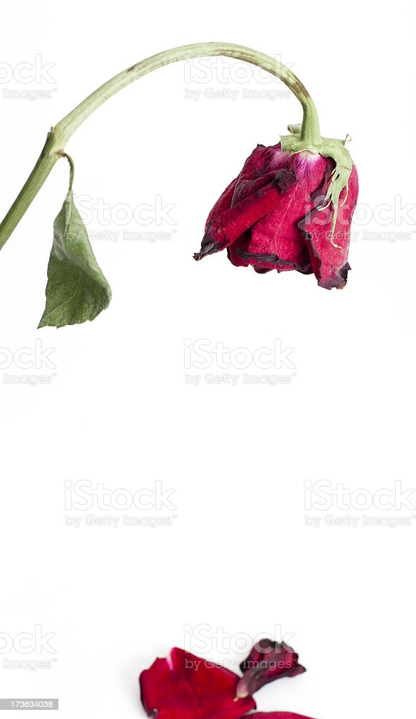 Dying rose, fallen petals royalty-free stock photo