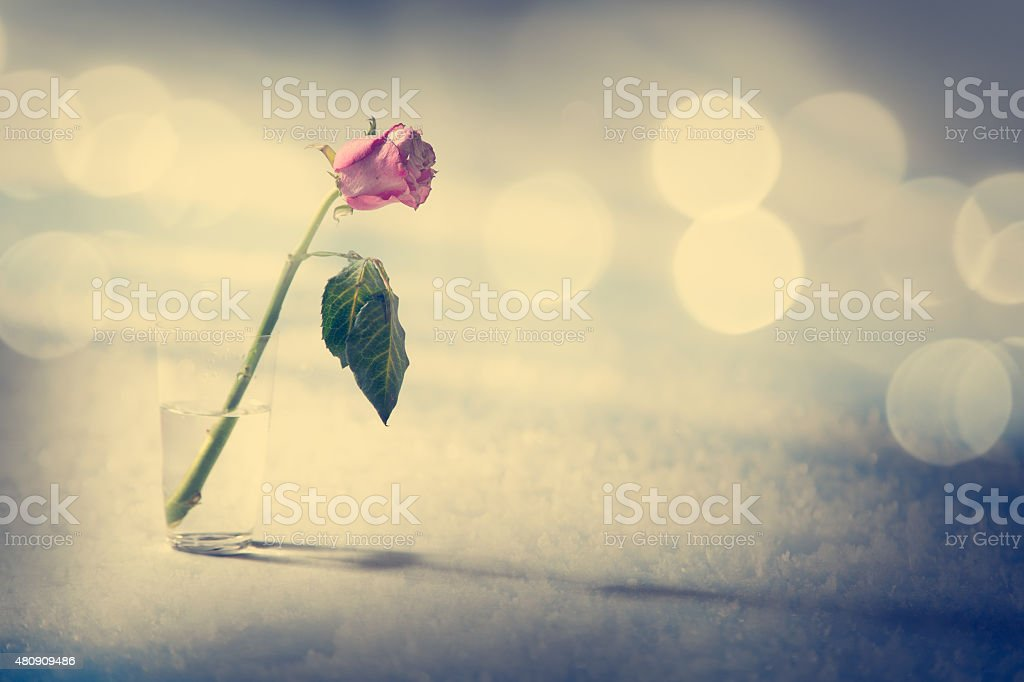 Dying Rose on the Snow Background stock photo