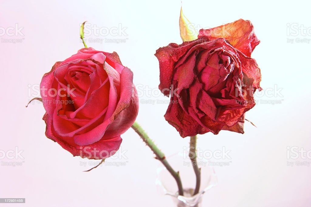 Dying Rose Series royalty-free stock photo