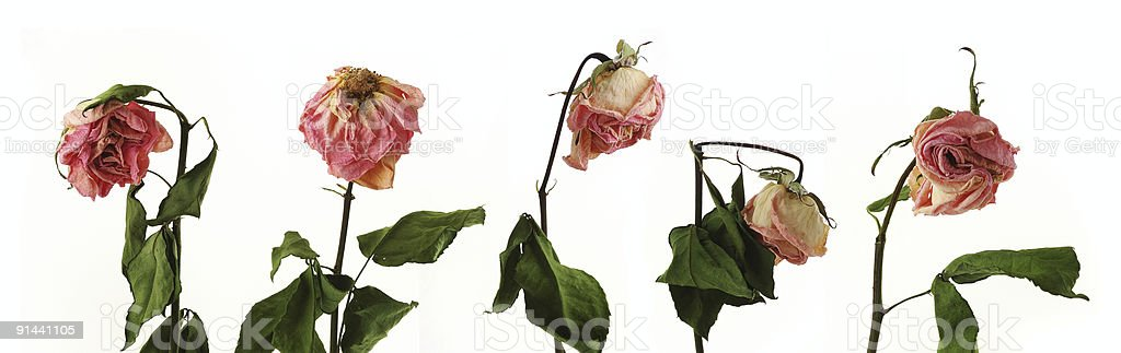 dying roses stock photo