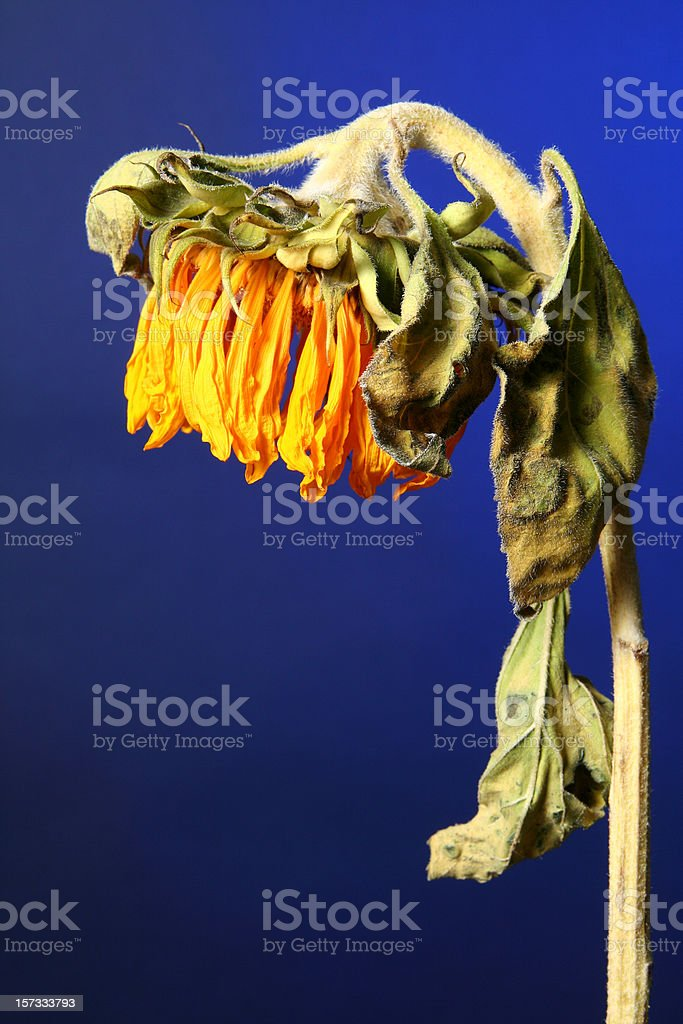 Dying Sunflower stock photo
