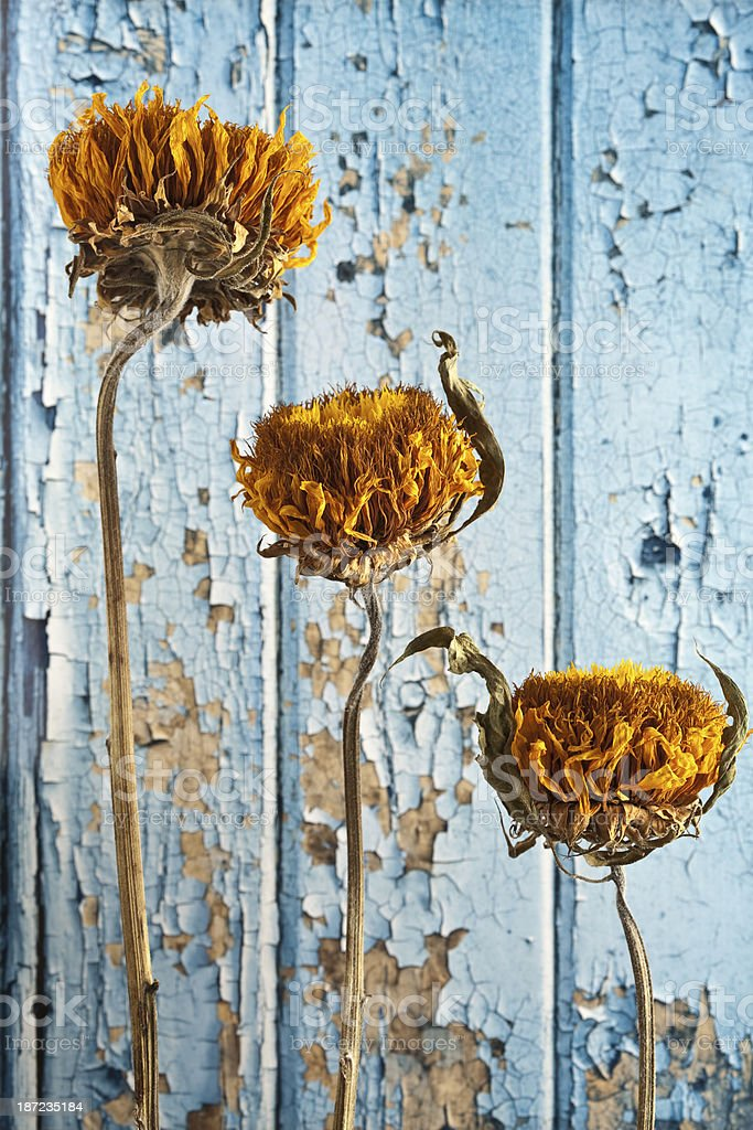 Dying sunflowers against peeling paint royalty-free stock photo
