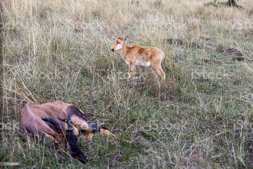 Dying topi mother with calf. Masai Mara, Kenya royalty-free stock photo