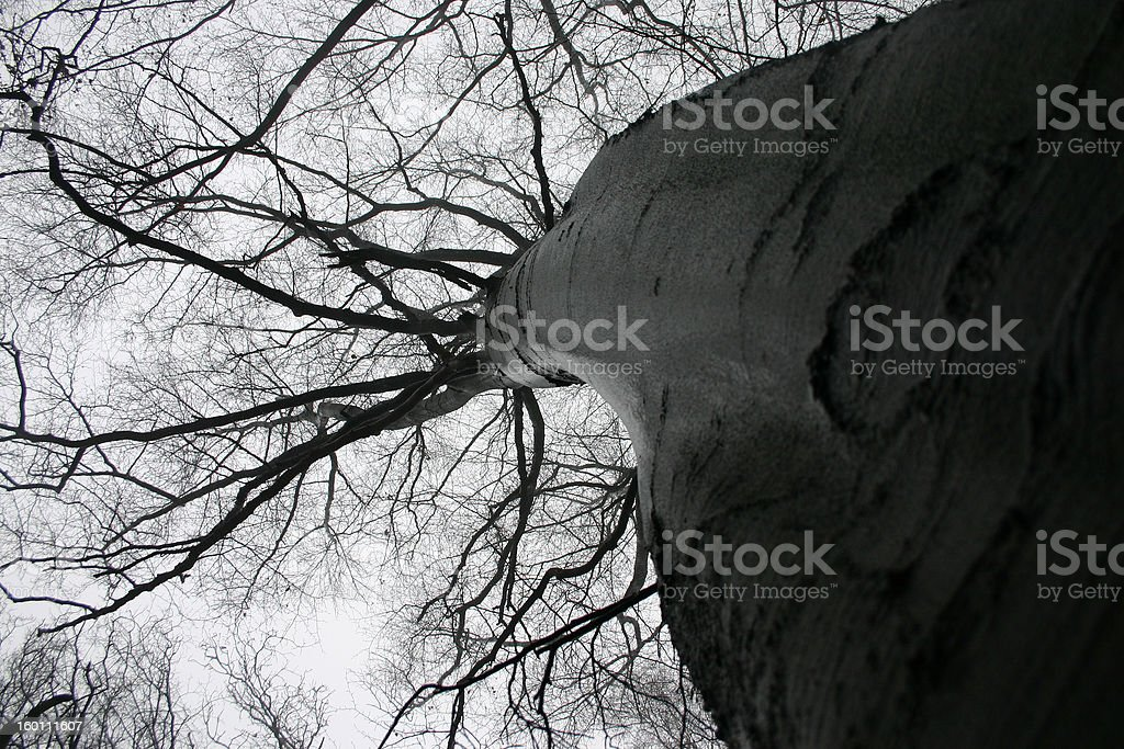 dynamic beech royalty-free stock photo