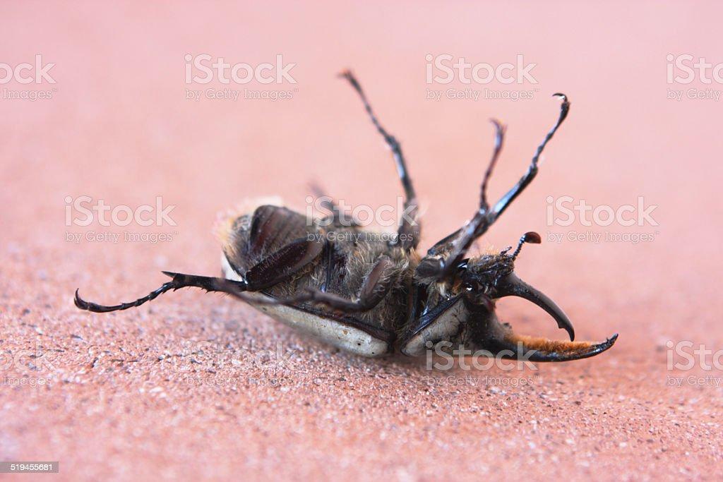 Dynastinae Rhinoceros Beetle stock photo