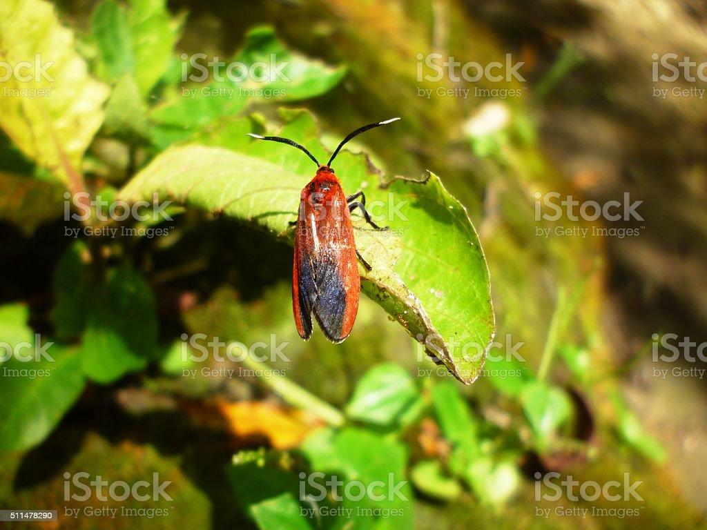 Dysdercus cingulatus stock photo