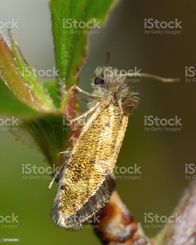 Dyseriocrania subpurpurella micro moth stock photo