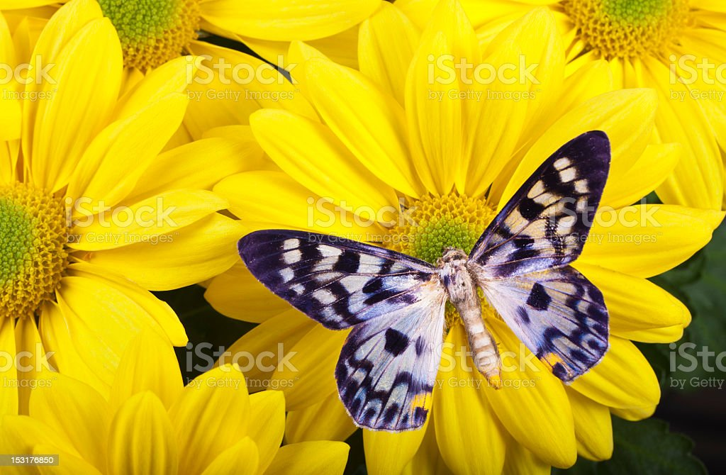 Dysphania transducta Butterfly royalty-free stock photo