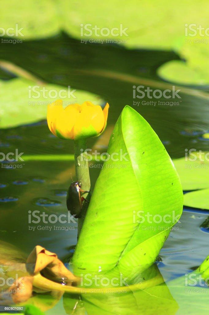 Dytiscidae on the flower of Nuphar lutea stock photo
