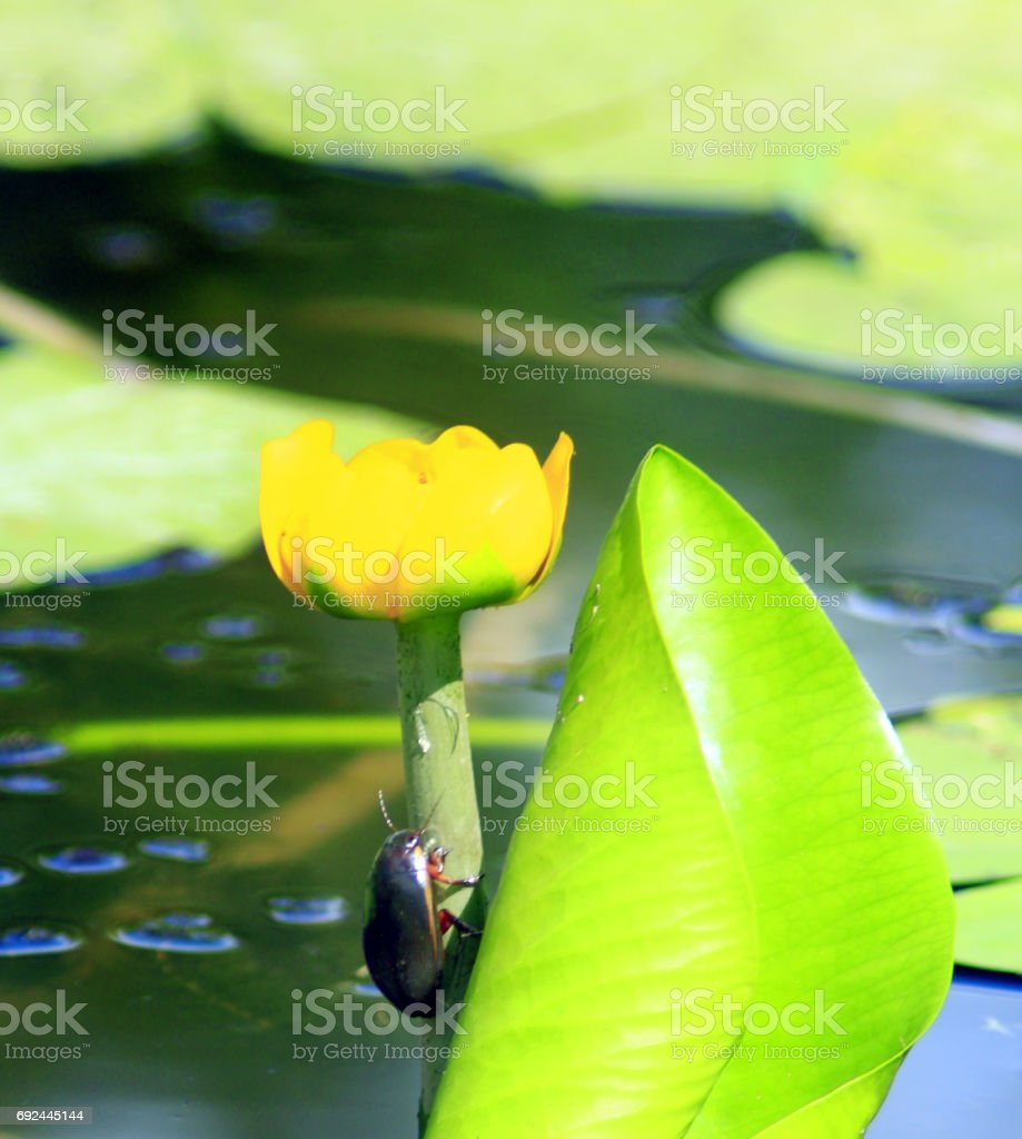 Dytiscidae on the flower of yellow Nuphar lutea stock photo