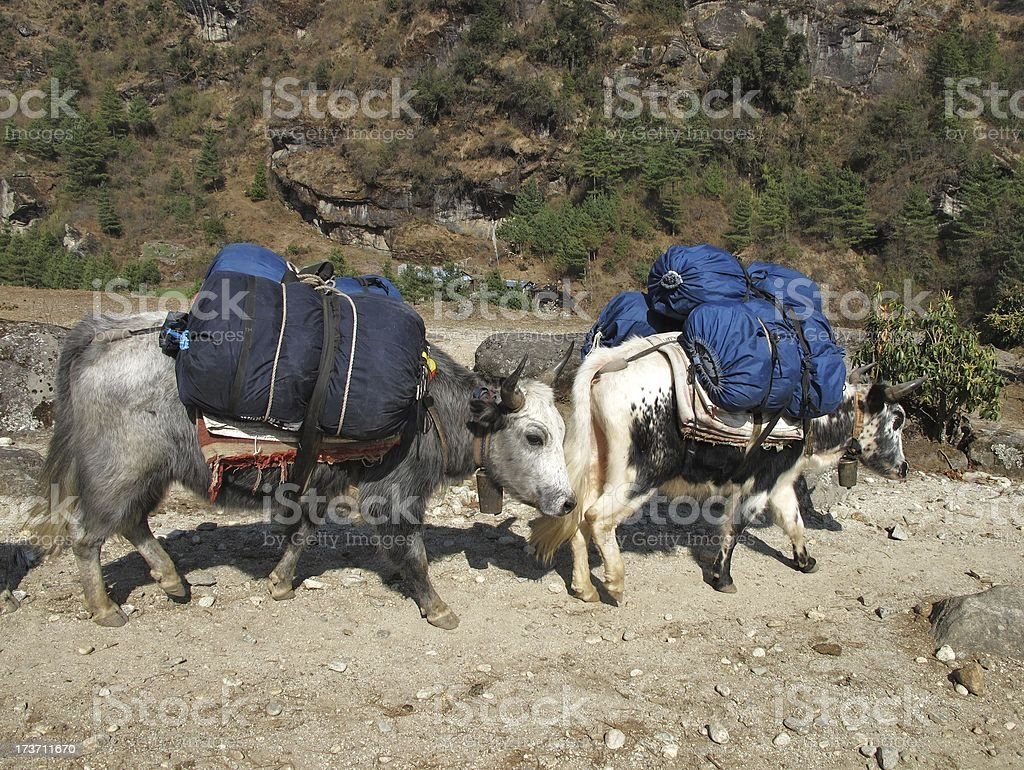 Dzos carrying goods to Namche Bazar royalty-free stock photo