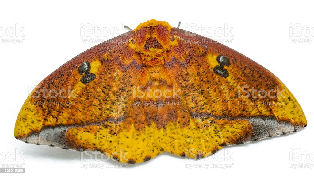 Eacles masoni tyrannus moth stock photo