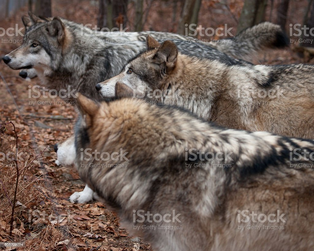 Eager Wolf Pack stock photo