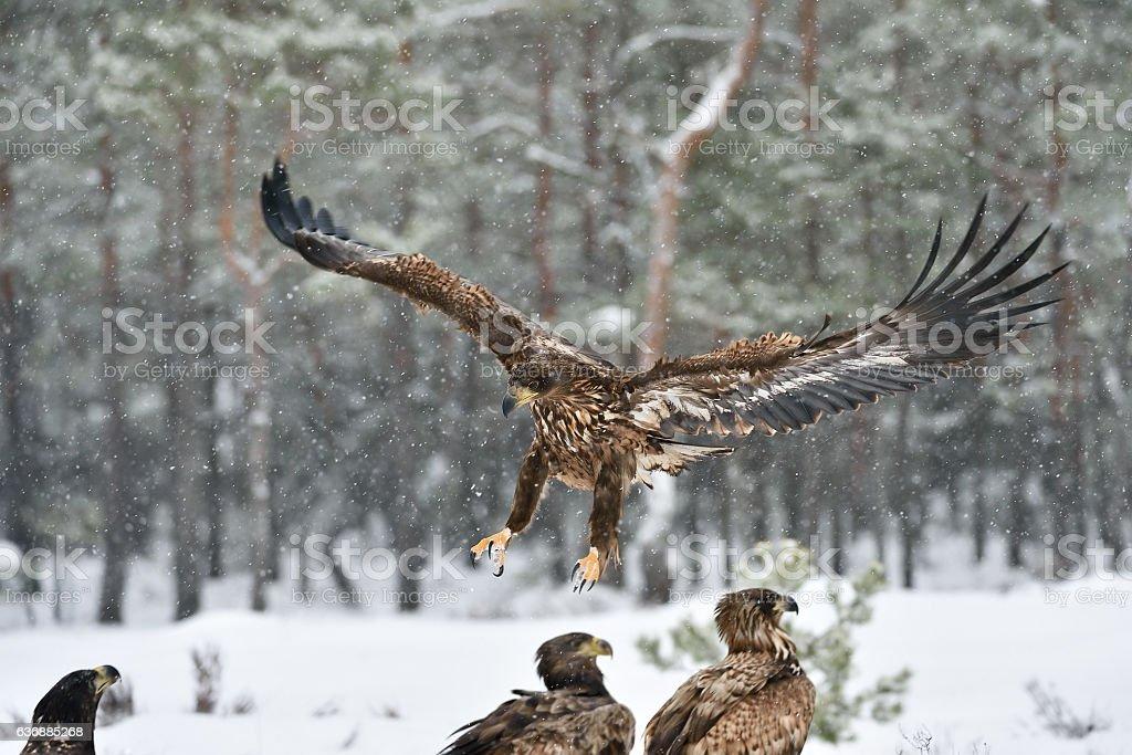 Eagle approaching, eagle arrival, eagle landing. Bird of prey stock photo