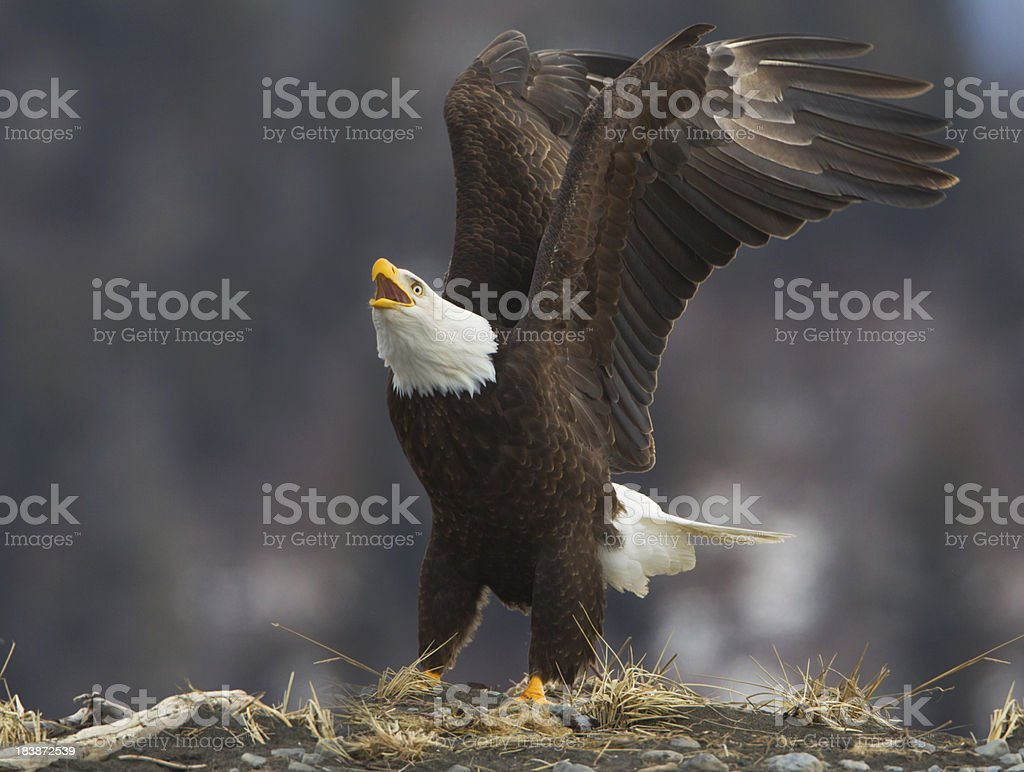 Eagle Calling royalty-free stock photo