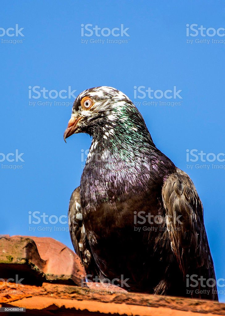 Eagle close up picture stock photo