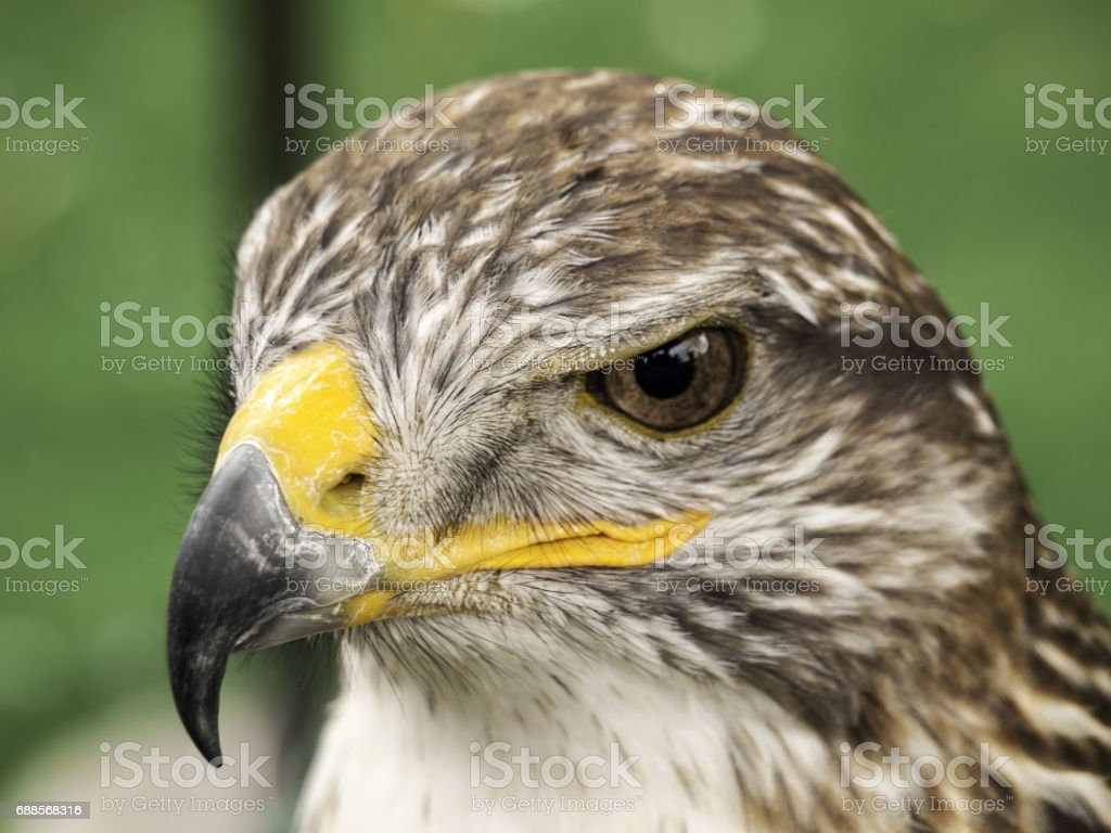Eagle falconry exhibition stock photo