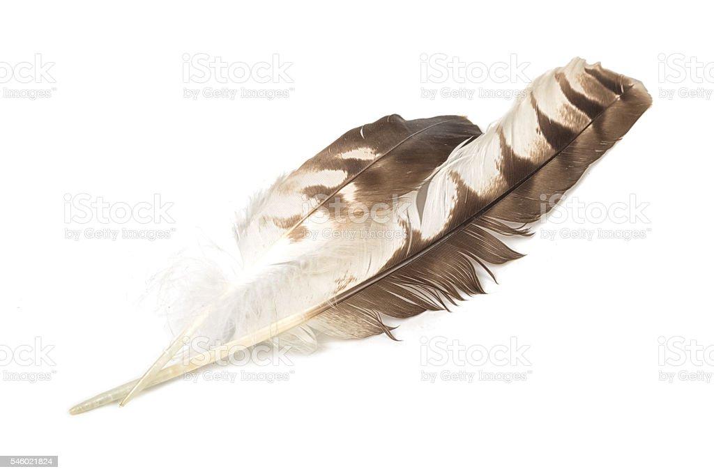 Eagle feather isolated on white background stock photo