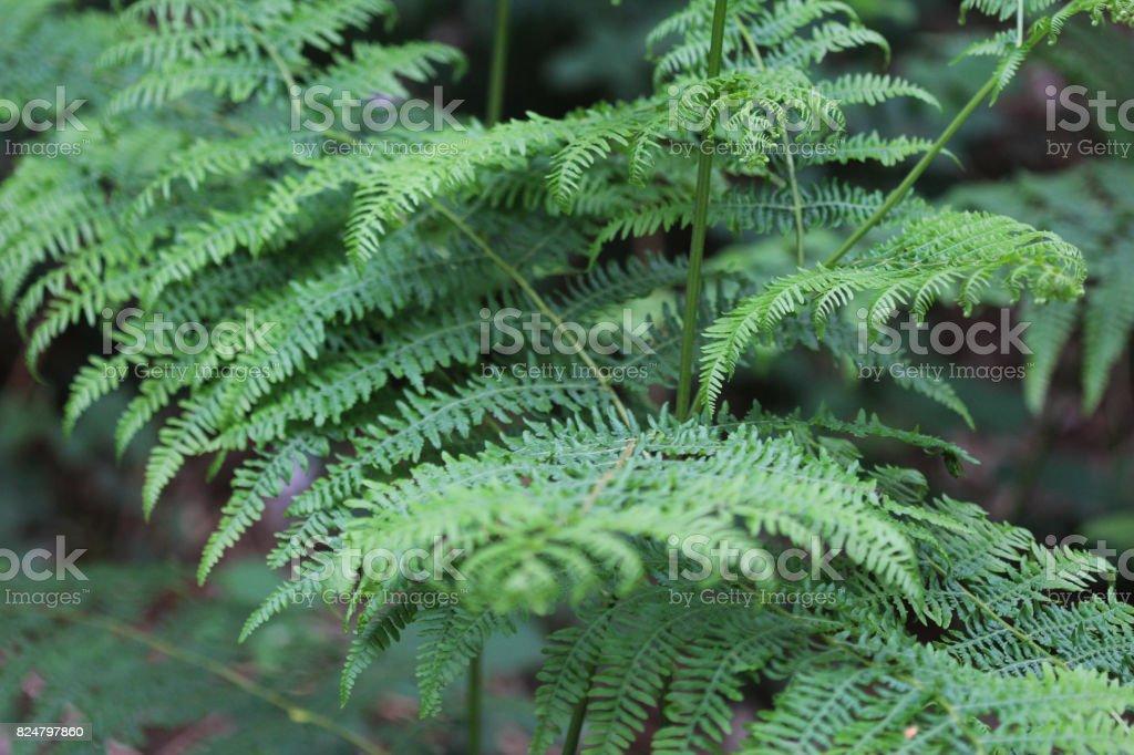 eagle fern (Pteridium aquilinum) stock photo