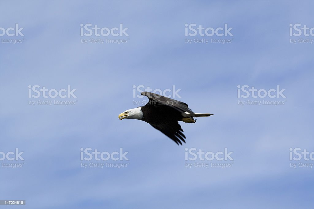 Eagle Fly-by stock photo