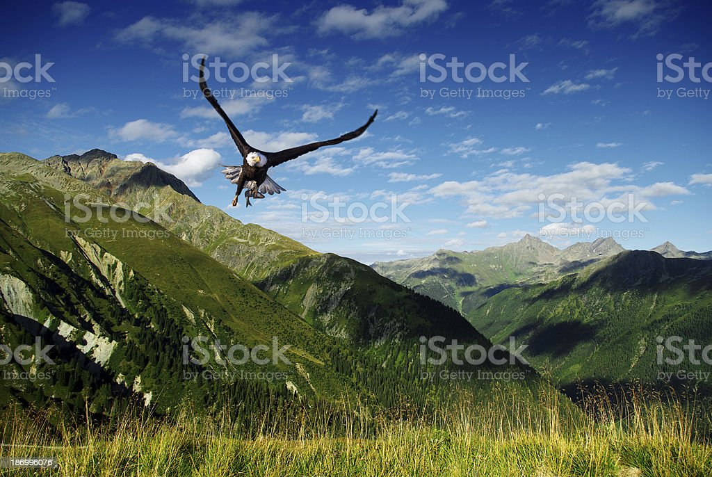 eagle flying above the mountains stock photo