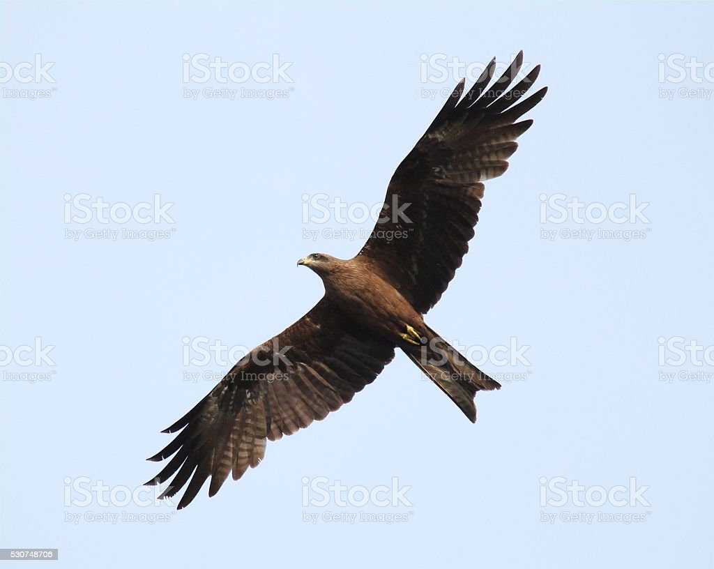 Eagle flying High stock photo
