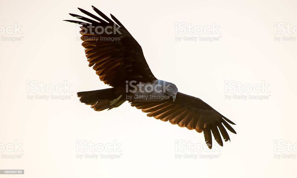 Eagle Flying In The Air stock photo