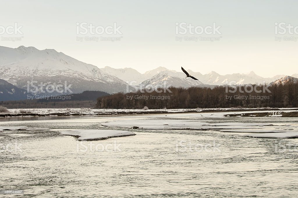 Eagle flying in winter stock photo