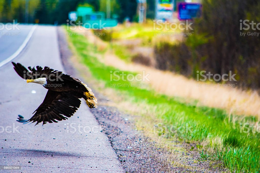 eagle flying over the road stock photo