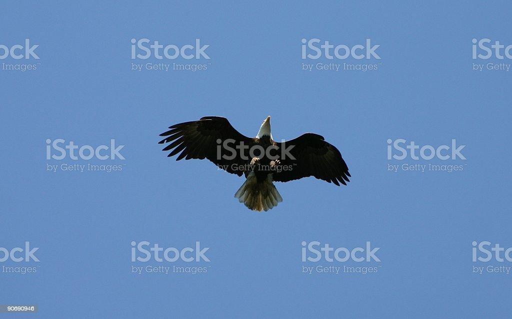 Eagle Flying royalty-free stock photo