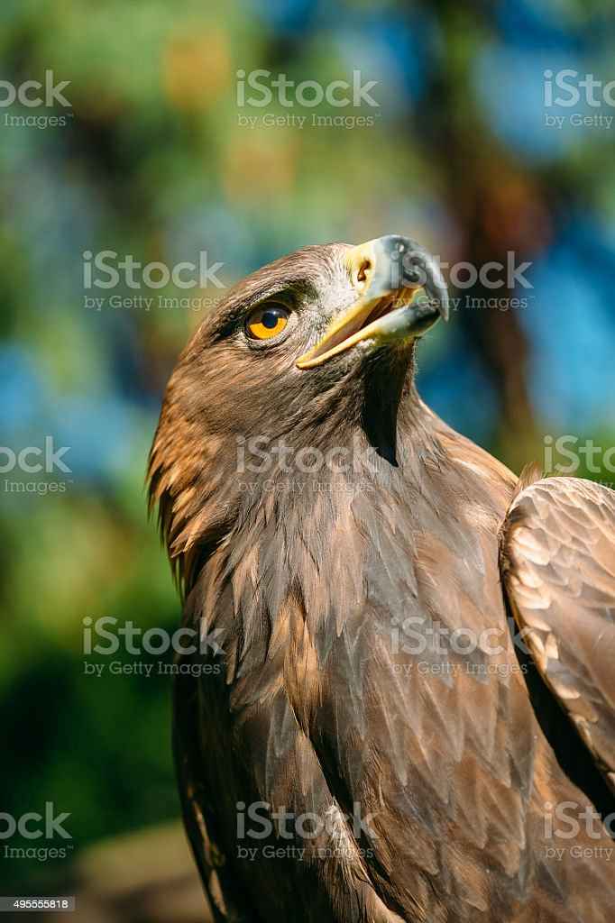 Eagle Haliaeetus albicilla on green grass background stock photo