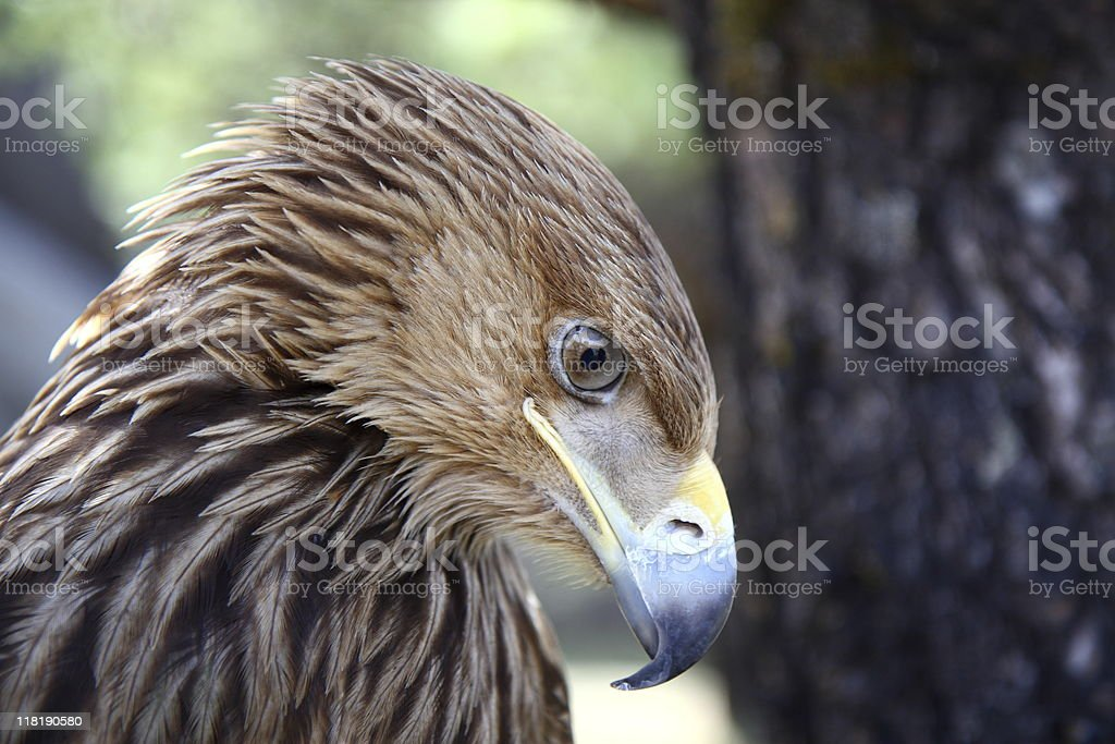 Eagle hanging its head (series) royalty-free stock photo