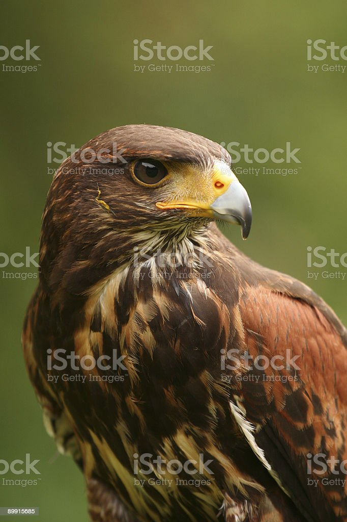 Eagle: Harris Hawk (Parabuteo unicinctus) stock photo