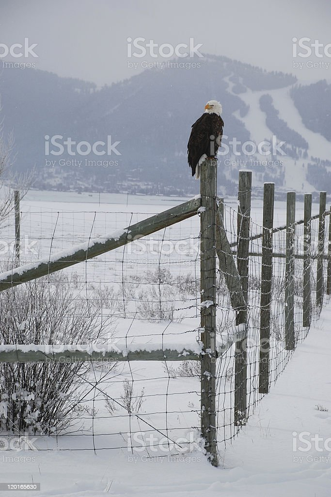 Eagle in a Snowstorm royalty-free stock photo