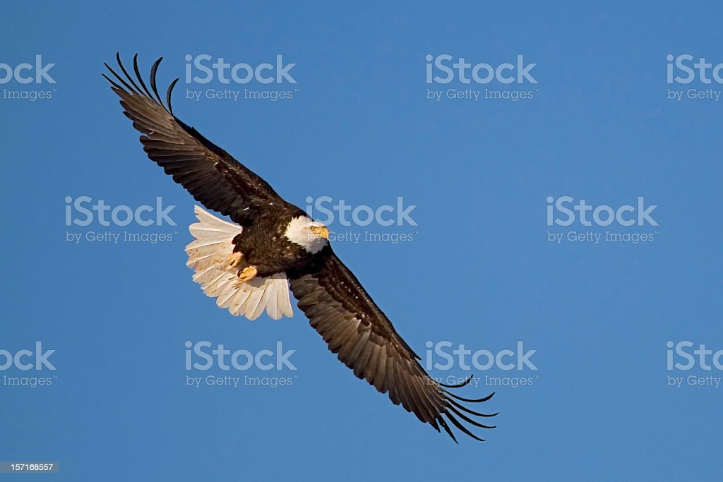 Eagle in Flight. stock photo