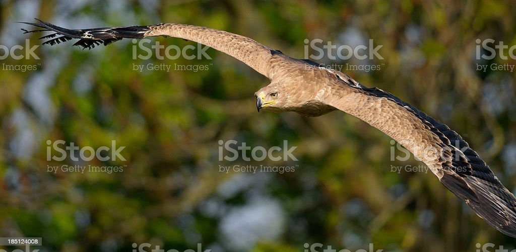 Eagle in Flight stock photo