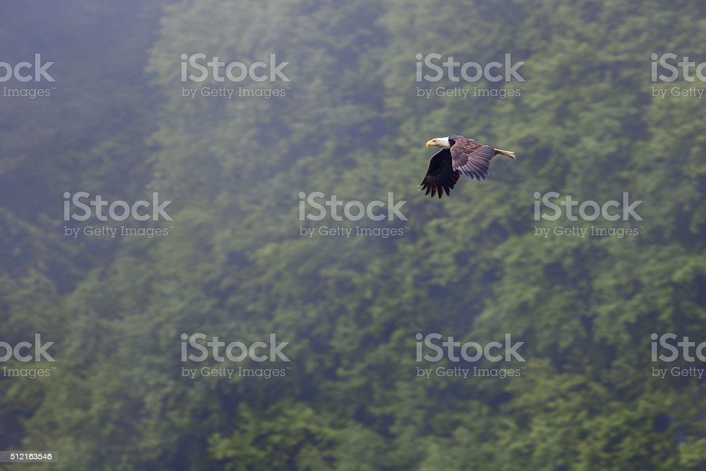 Eagle In Flight royalty-free stock photo